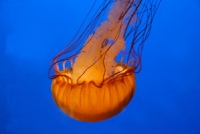meduse_1