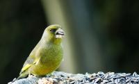 Oiseaux du jardin_1