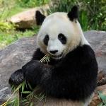 Penda Géant (zoo de Beauval )_1